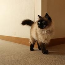 *[スタッフ]看板猫のしろー気まぐれで人懐こく可愛いいと評判です。