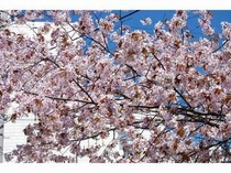 春の桜が咲き乱れています
