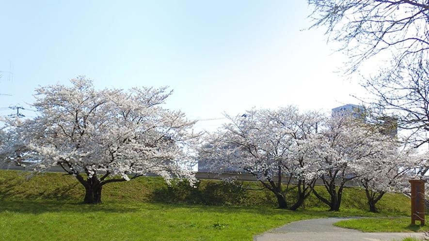 せせらぎパークから見上げるホテル。桜並木に埋もれるようにして
