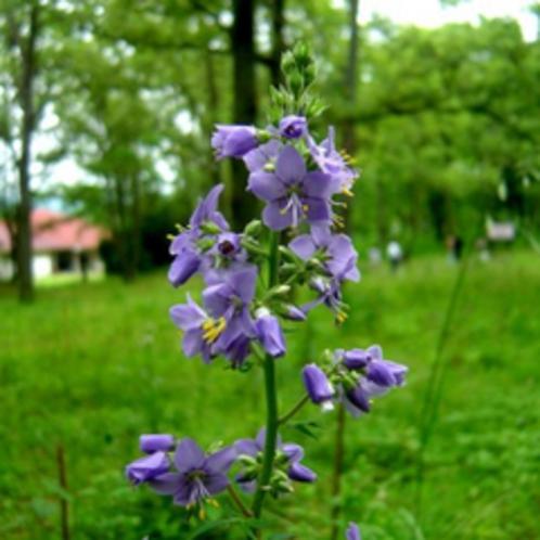 <6月・ハナシノブ>阿蘇にしかないお花。そんなお花を休暇村南阿蘇の野草園で見れるってすごいわね!!