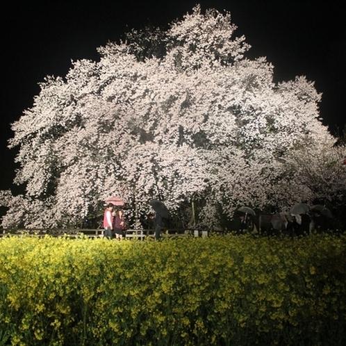 <春・一心行の夜桜>ライトアップされた桜は一段ときれいね!