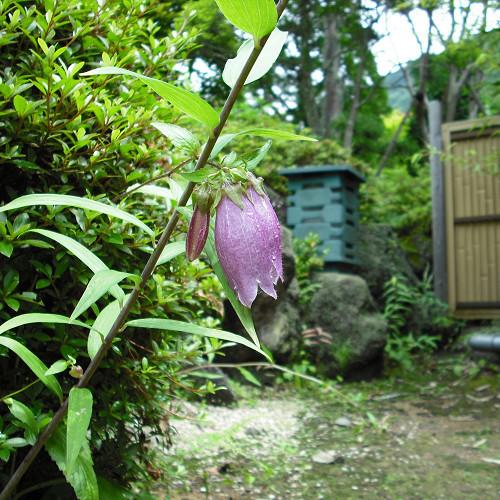 お庭のホタルブクロ