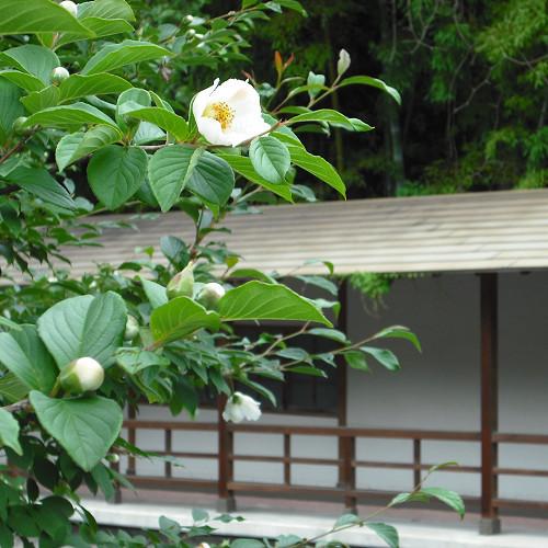 夏椿と清山館渡り廊下
