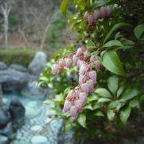 【露天風呂 甌穴】早春咲く花・あせびと露天風呂「甌穴」。お湯は柔らかくお肌がすべすべになります。