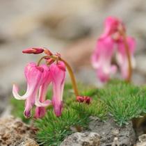 野反湖に咲くコマクサ:高山の砂礫地に生え「高山植物の女王」と呼ばれます。7月中旬に見ごろを迎えます。