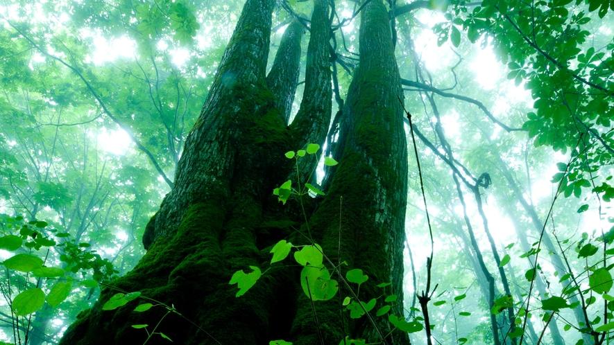 *夏の白神山地/神々しくそびえ立つ、樹齢推定400年のマザーツリー。木のパワーを感じてみよう。