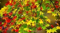 *秋の白神山地/まるで絵の具で色を付けたような、色彩豊かな紅葉は白神山地ならでは。