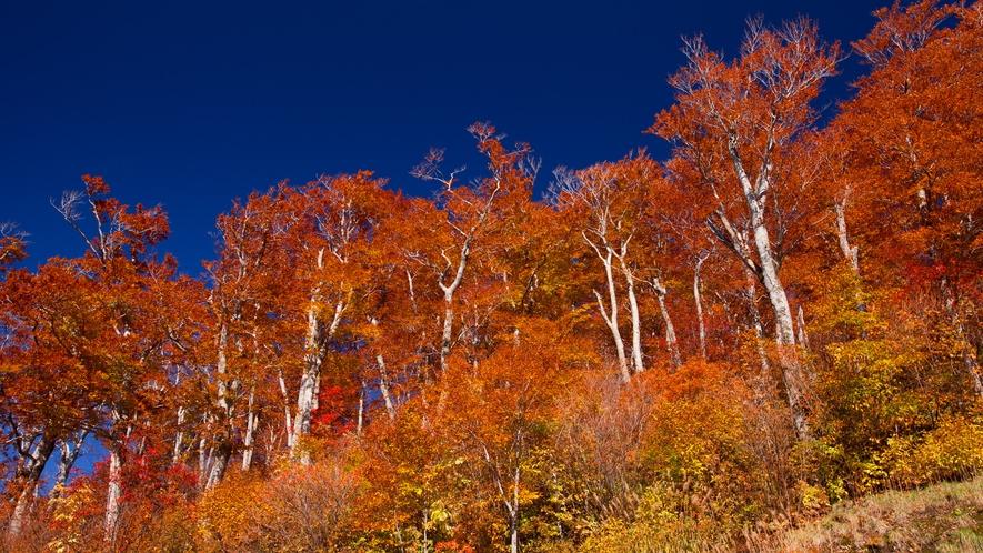 *秋の白神山地/見上げると広がる絶景。山の外側は鮮やかな朱色のグラデーションが見事!