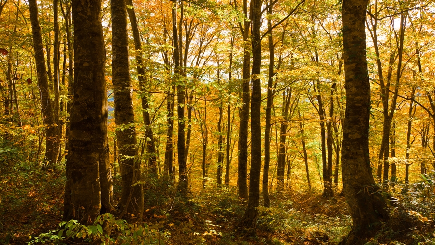 *秋の白神山地/鮮やかな黄色に染まる巨木の森。グリーンシーズンとはまた違う魅力があります!