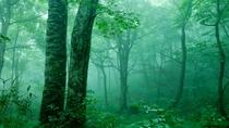 *夏の白神山地/澄んだ空気がいっぱいに広がるブナ林。夏の森はマイナスイオンがたっぷり。