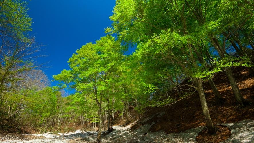 *春の白神山地/深い雪がやっと溶けて、美しい新緑がひろがってゆきます。