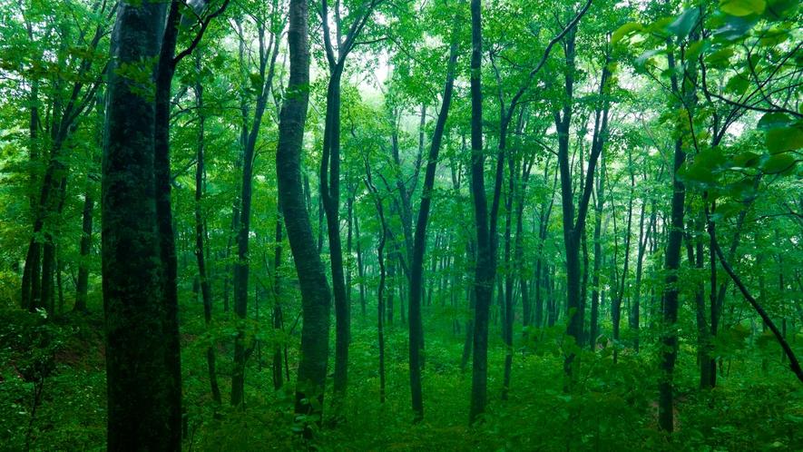 *夏の白神山地/新緑の森はマイナスイオンがいっぱい♪森林浴に最高の季節です。