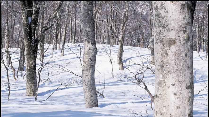 *【冬の白神山地】辺り一面が雪に覆われ、銀世界と化します。