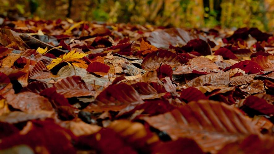 *秋の白神山地/紅葉のじゅうたんを踏みしめて、神聖な森の中を散策しましょう♪