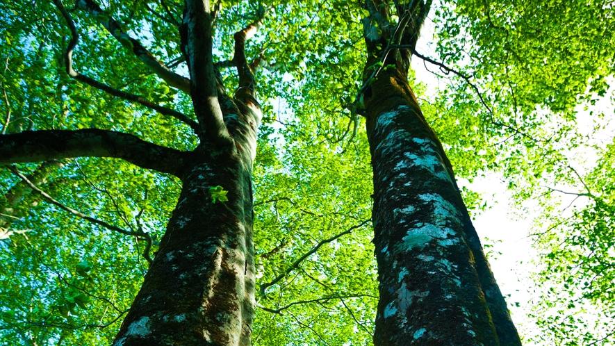 *春の白神山地/新緑が美しいブナの木。その樹齢は平均200年といわれています。
