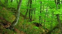 *夏の白神山地/世界最大級のブナ林。気候が良く散策しやすい夏は家族連れにも人気。