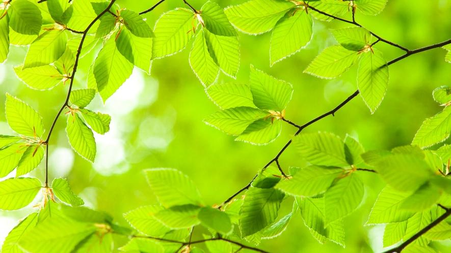 *春の白神山地/若々しい緑色が美しい。待ちわびた新緑のシーズン到来♪