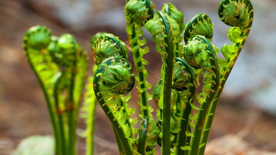 *春の白神山地/雪が溶け、植物たちが一斉に芽吹きます。