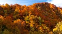 *秋の白神山地/赤、黄、橙色、鮮やかな色彩が魅力の白神山地の紅葉です!