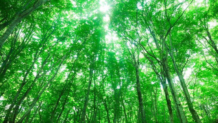 *夏の白神山地/鮮やかに茂る世界遺産のブナの木々。木漏れ日とともに森林浴を満喫!
