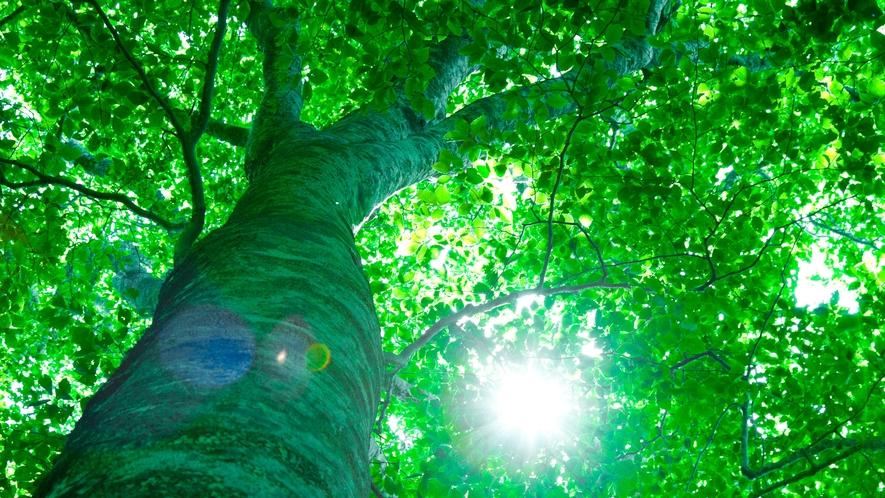 *夏の白神山地/瑞々しく潤う、夏の森。ブナたちの息吹が聞こえてくるようです。