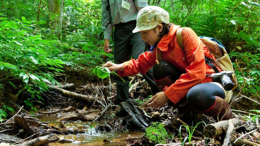 *夏の白神山地/ブナ林散策道にある沢では、是非湧水を飲んでみてください♪