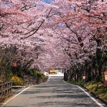 ☆周辺情報「桜坂」