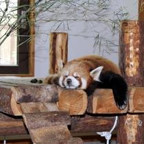長野市『茶臼山動物園』レッサーパンダ