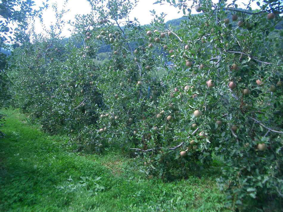 ぼくんちりんご農園