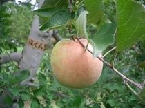 ぼくんちりんご農園のりんご
