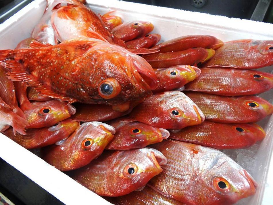 三国港直送の春の地魚(ドッコ・レンコ鯛)