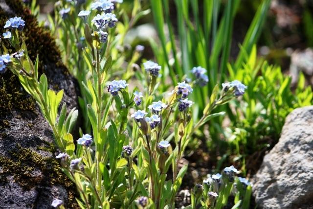 庭のワスレナグサ