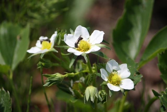 庭のイチゴの花