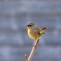 利尻島は野鳥の通り道。観察数は300種を超えます。写真はノゴマ。