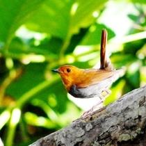 野鳥観察スポットのご案内もおまかせください!写真はコマドリ。