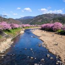 河津桜 やはり本場が一番綺麗ですね!