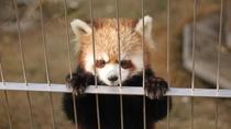 熱川温泉バナナワニ園のレッサーパンダも大人気!