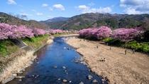 河津桜 日本一早咲きの桜