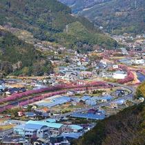 山から見た河津桜