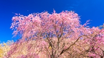 伊豆高原  大室山の桜 花見スポット