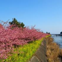 ピンクと菜の花のコントラストが美しい河津桜