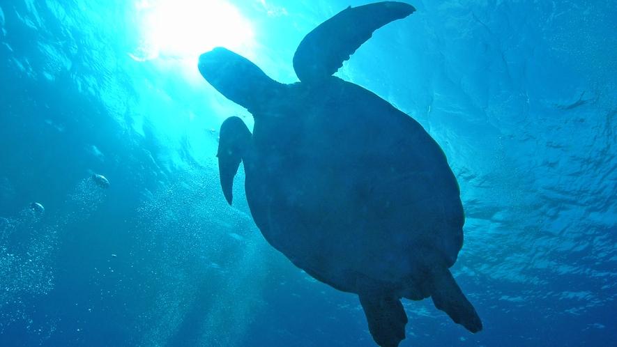 【アクティビティ】カメが泳ぐ姿をこんな間近で見られます。