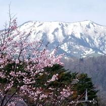 本白根山と桜