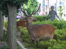 玄関前の鹿