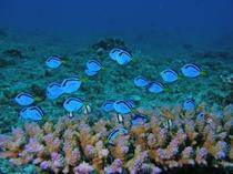 【ダイビング】ナンヨウハギの幼魚。枝サンゴの上に集まる可愛らしい魚の1つです♪