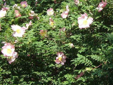 箱根町の花ハコネサンショウバラ