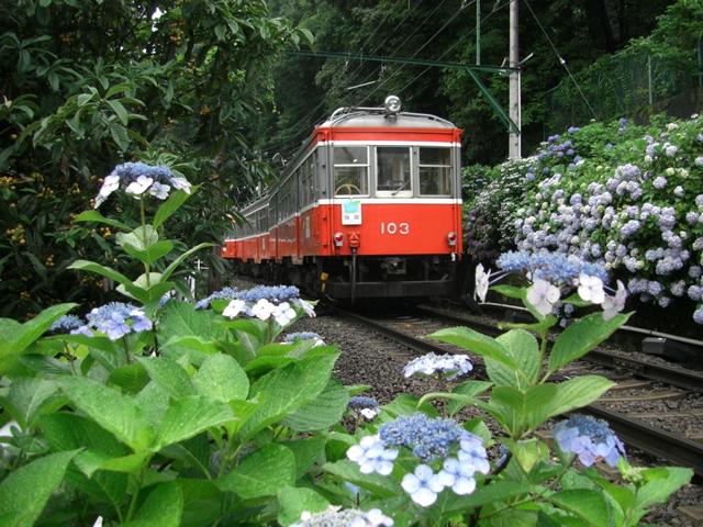 箱根登山電車はアジサイの花の間をゆっくりゆっくり上ったり下りたり