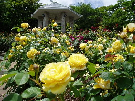『強羅公園』(2)〈ローズガーデン〉強羅公園のバラ園のバラは