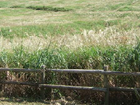左の写真の《仙石原のススキの原》のススキの穂は秋風に吹かれて、少しづつフワフワになっていきます。