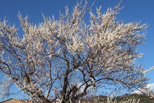 小田原・『曾我梅林』は小田原の特産物の梅の実の畑が梅林なんです